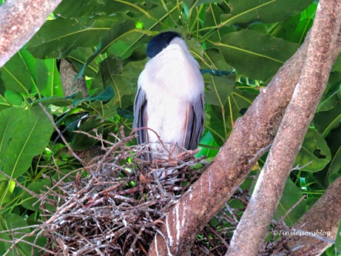 black-crowned night heron sleeping ud121