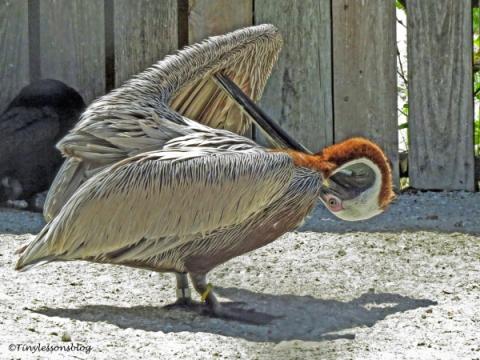 brown pelican preens ud121