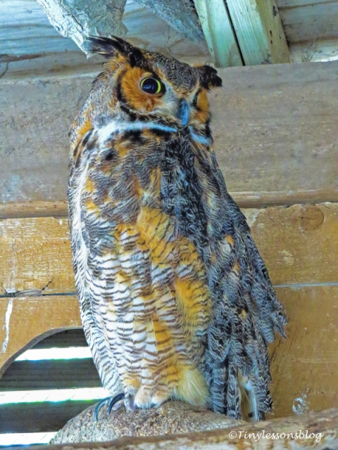 great-horned owl ud121