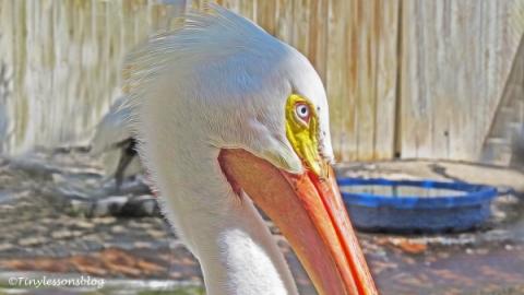 white pelican closeup ud121